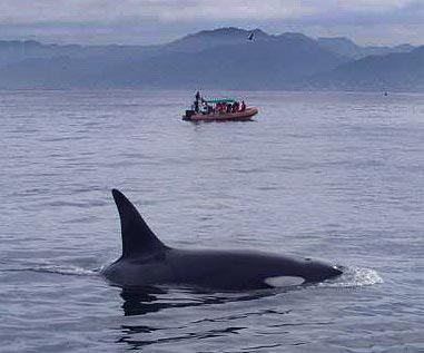 An Orca thrills whale watchers